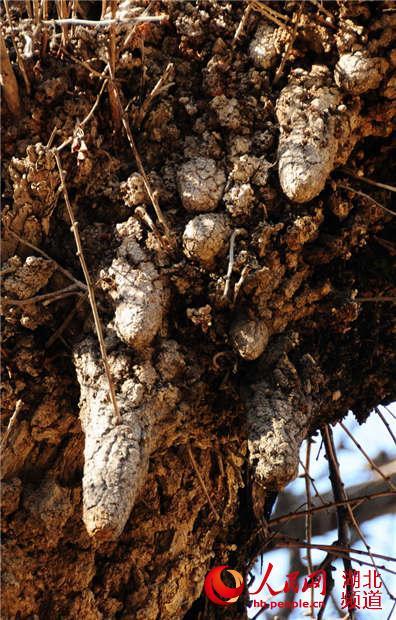 组图奶头:长性感的1809年的古银杏树幻化高清dh血精灵图片