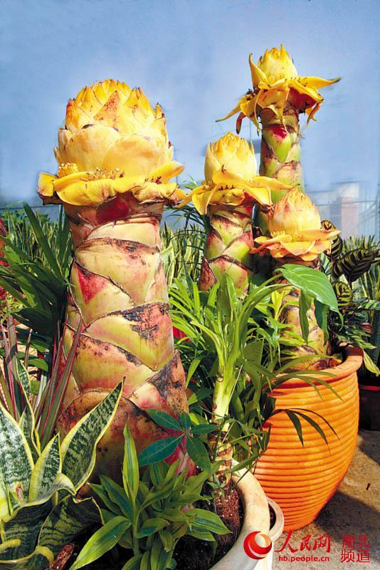 人民网武汉1月21日电 受持续低温阴雨天气影响,首届武汉迎春花市将延至于1月25日(腊月十六)在武汉花博园开市纳客。 正在建设中的武汉花博园是华中地区规模最大的花卉直销市场和电子商务平台,园区占地5000亩,另配套上万亩的花卉种植基地,总投资16亿元。花博园位于江夏区五里界街的梁湖大道两侧,交通便利。 作为花博园配套活动项目的迎春花市,将每年腊月举办一届。据了解,届时将有蝴蝶兰、日本和韩国进口的大花蕙兰、荷兰进口的宝莲灯、墨兰、春兰、君子兰等,春石斛兰、垂兰、兜兰、文心兰等;各国的国花,如中国的国花牡丹、