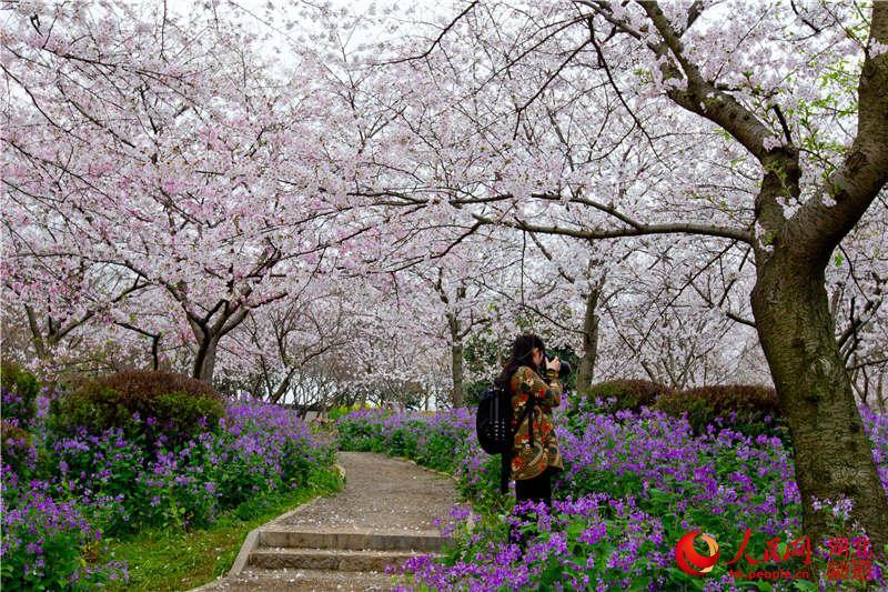 """樱花飞舞""""2016武汉东湖樱花节"""
