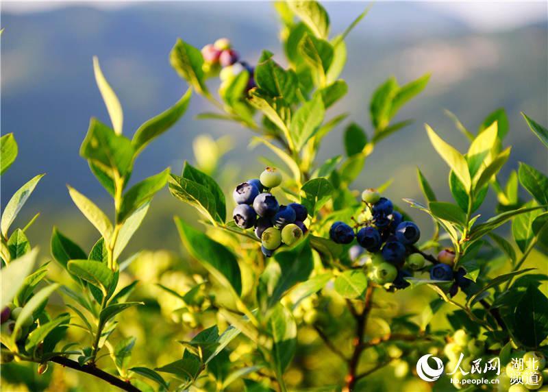 湖北邢台:蓝莓飘香游客来--湖北糕点--人民网保康市区稻花香频道图片