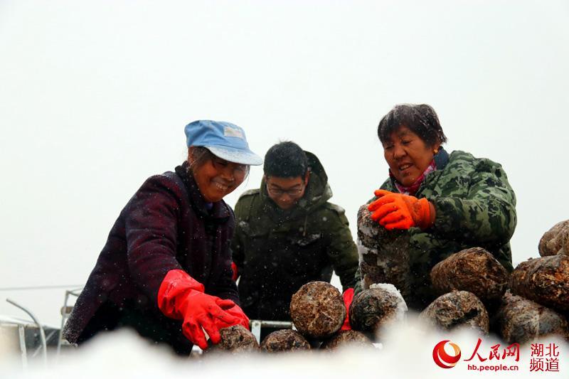 1月24日,在湖北省十堰市郧阳区香菇小镇产业扶贫示范园里,贫困户将第二茬香菇菌棒装车上架。