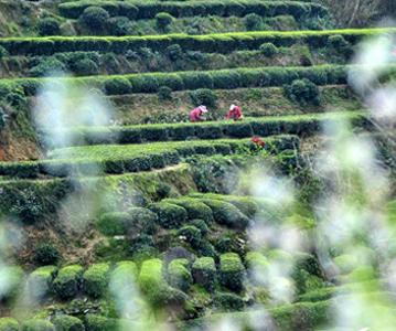 湖北宜昌:春花相伴采茶芽