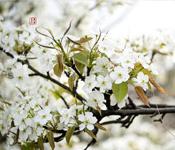 湖北麻城:满园春色关不住 梨花桃花相映开