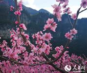 湖北鹤峰:百亩桃花映春光