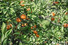 橘子滞销 碧桂园爱心助农采购近两万斤