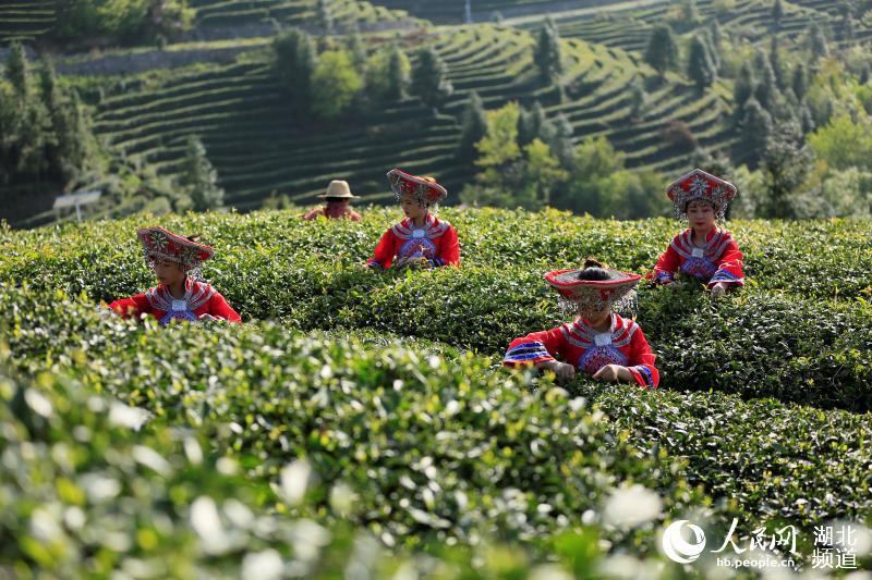 湖北巴东茶香飘万里 以茶为媒助推脱贫攻坚