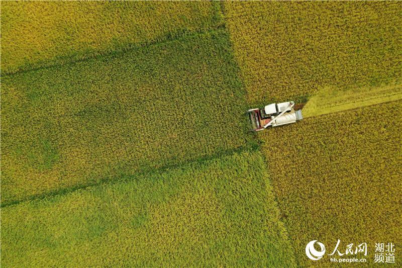 9月4日,湖北省襄阳市保康县马桥镇中坪村农民驾驶收割机在田间收割水稻(无人机航拍)。