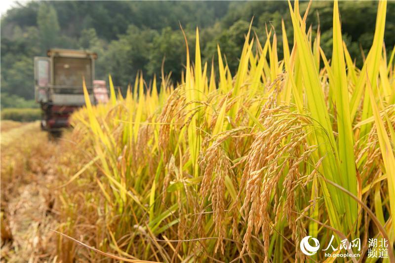 9月4日,湖北省襄阳市保康县歇马镇邹家院村农民驾驶收割机在田间收割水稻。