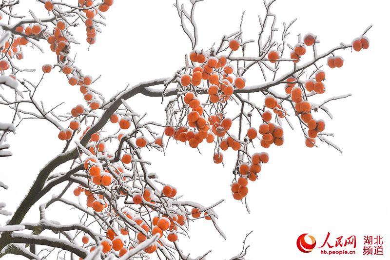 湖北保康:寒冬柿子俏枝头