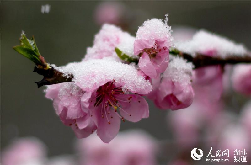 湖北保康 出现 桃花雪